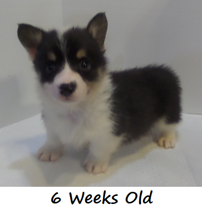 George Everett - AKC Pembroke Welsh Corgi in Memphis, TN